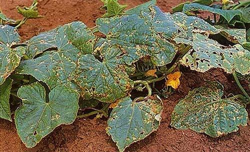 Фото огуречных листьев изъеденных огуречным клопиком