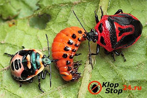 Злейшим врагом колорацкого жука является клоп периллюс двухвековый
