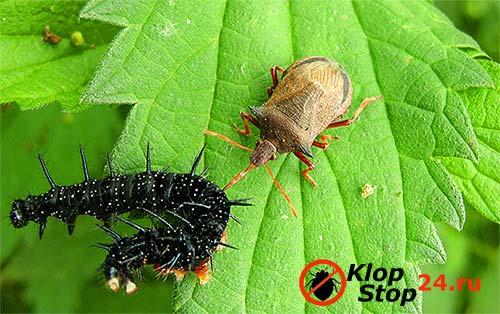 На фото процесс поедания гусеницы клопом пикромерусом