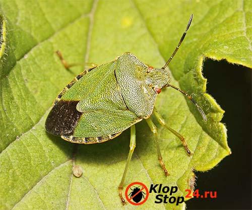 На фото лесной зеленый щитник