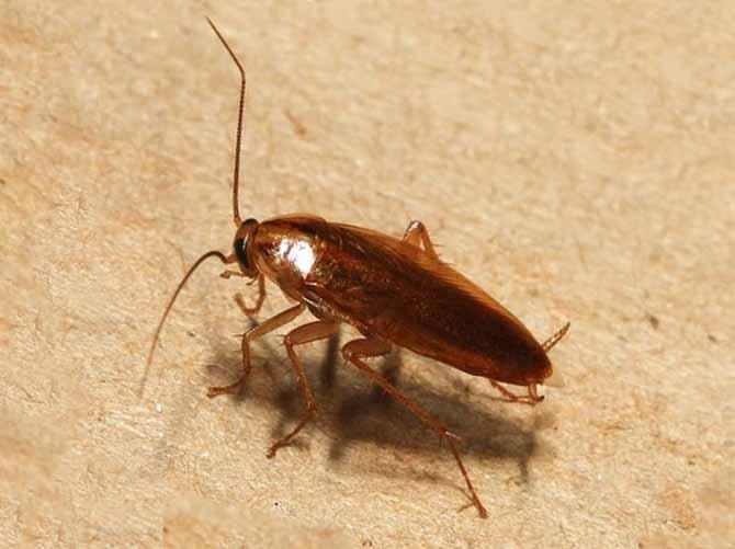 В Роспотребнадзоре предупредили о новом нашествии тараканов