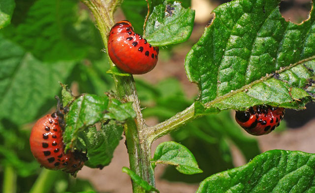Особенно устойчивы к инсектицидам личинки колорадского жука