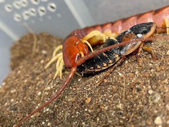 Питание состоит из пауков, тараканов, мух, сверчков, мотыльков, насекомых с мягкой кожей