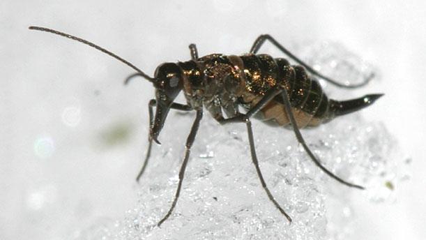 Снежные скорпионы (Boreidae) считаются предками блох