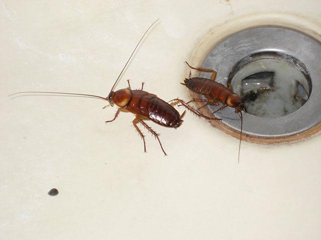 Без воды тараканы не выживут