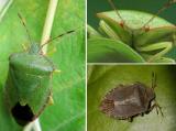 Древесный клоп – как выглядит зеленый щитник, как избавиться, опасен ли он в квартире и доме