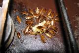 Как избавиться от тараканов в общежитии – самостоятельно или с администрацией