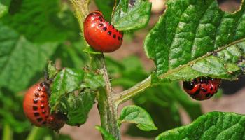 Народные средства от колорадского жука – обрабатываем огород без вредной борьбы