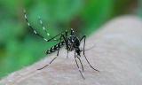 Роспотребнадзор предупреждает: «комар-тигр» добрался до Новороссийска