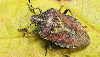 Садовые клопы: подробно о вредных и полезных насекомых с фото