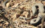 Змеиный сезон открыт: в России проснулись гадюки